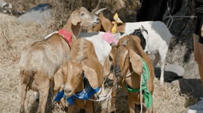 geitenhoeders